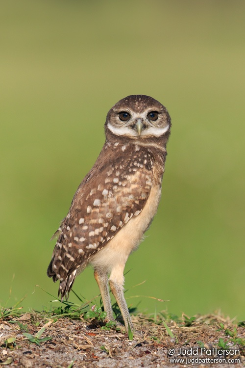 Burrowing Owl, Brian Piccolo Park, Broward County, Florida, United States