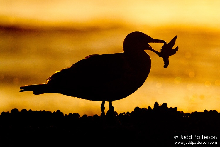 California Gull, Crystal Cove State Park, California, United States