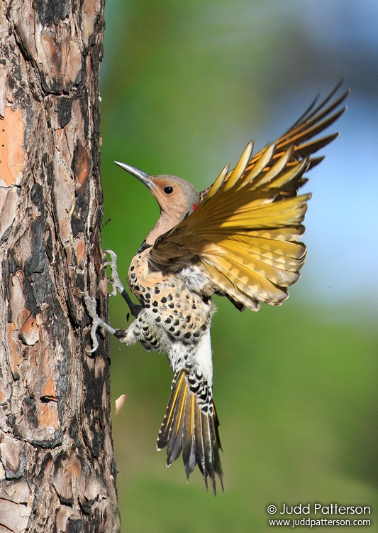 Northern Flicker, Everglades National Park, Miami-Dade County, Florida, United States