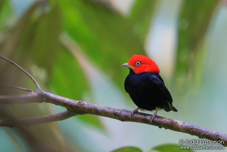 Red-capped Manakin, Pico Bonito Lodge, Honduras