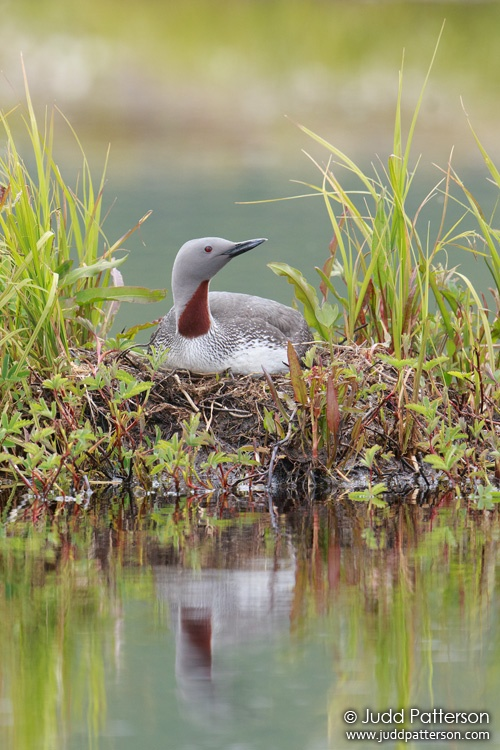 Red-throated Loon, Seward Peninsula, Alaska, United States