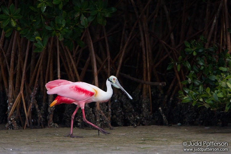 Roseate Spoonbill, Tampa Bay, Florida, United States