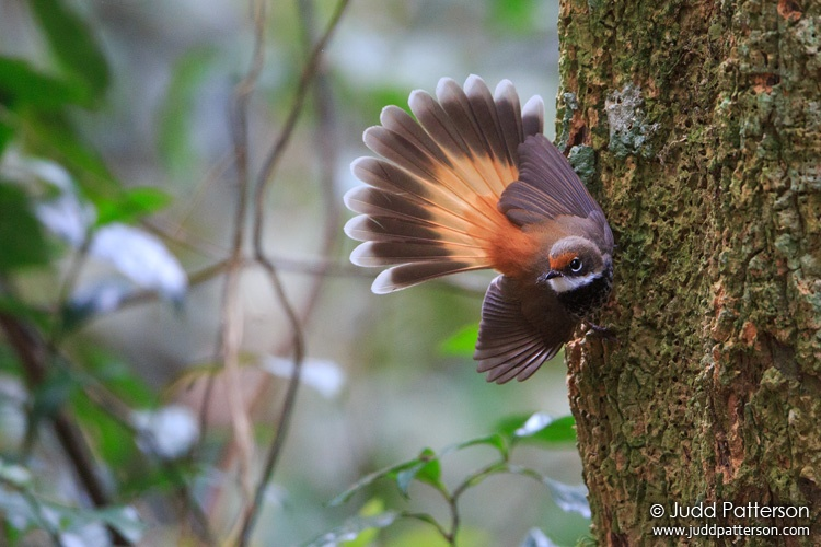 Rufous Fantail, Lamington National Park, Queensland, Australia