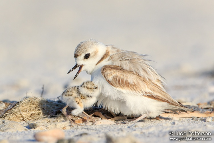 Snowy Plover, Fort Myers Beach, Lee, Florida, United States