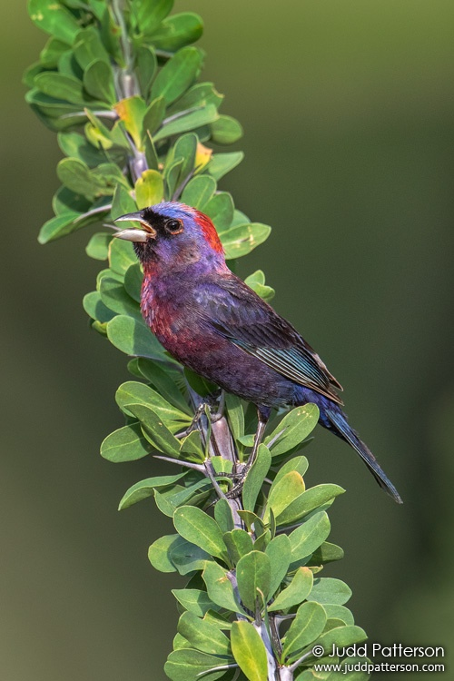Varied Bunting, Box Canyon, Pima County, Arizona, United States