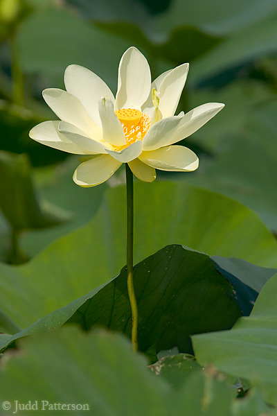 American Lotus, DeSoto National Wildlife Refuge, Nebraska, United States