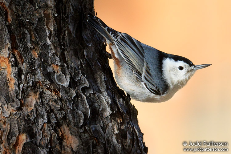 White-breasted Nuthatch, Rocky Mountain National Park, Larimer County, Colorado, United States