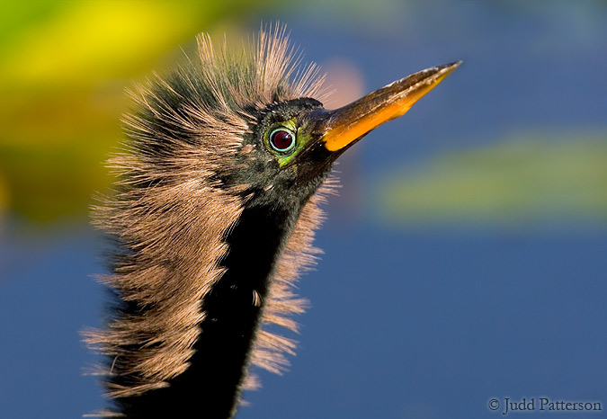 Anhinga, Everglades National Park, Florida, United States