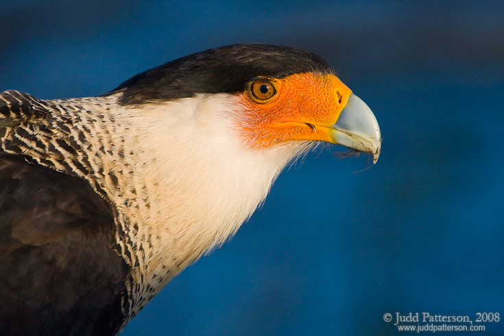 Crested Caracara, Viera Wetlands, Florida, United States