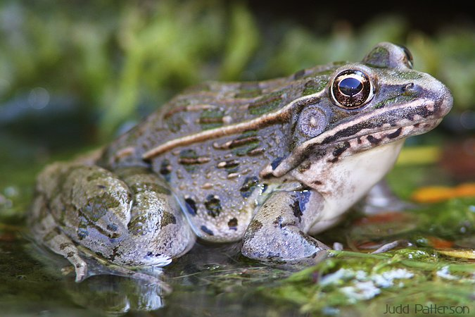 Plains Leopard Frog, Saline County, Kansas, United States