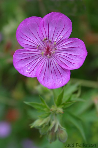Sticky Geranium, Wasatch-Cache National Forest, Utah, United States
