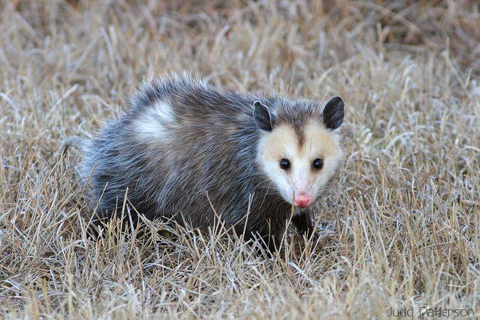 Opossum Kansas Virginia Opossum  Konza