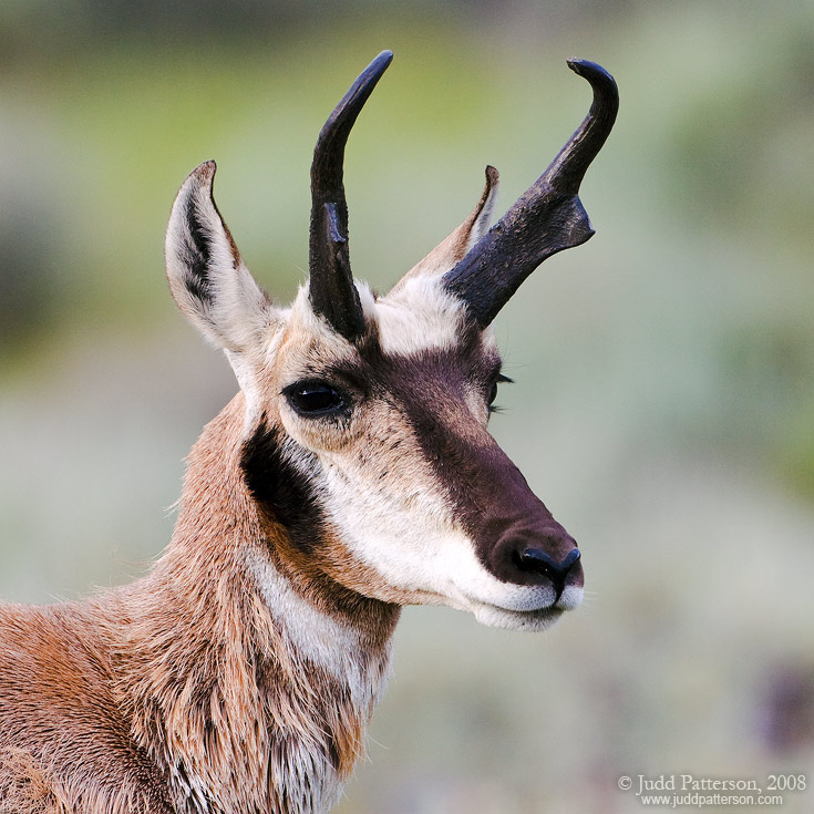 Pronghorn, Yellowstone National Park, Wyoming, United States
