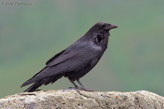 Common Raven, Yellowstone National Park, Wyoming, United States